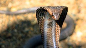 king-cobra-hood