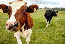 Köttproduktion